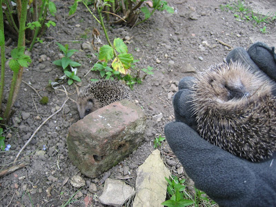 Bear and Boris the young hedgehogs
