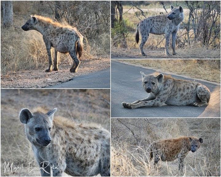 Hienas en la h1-2, Kruger