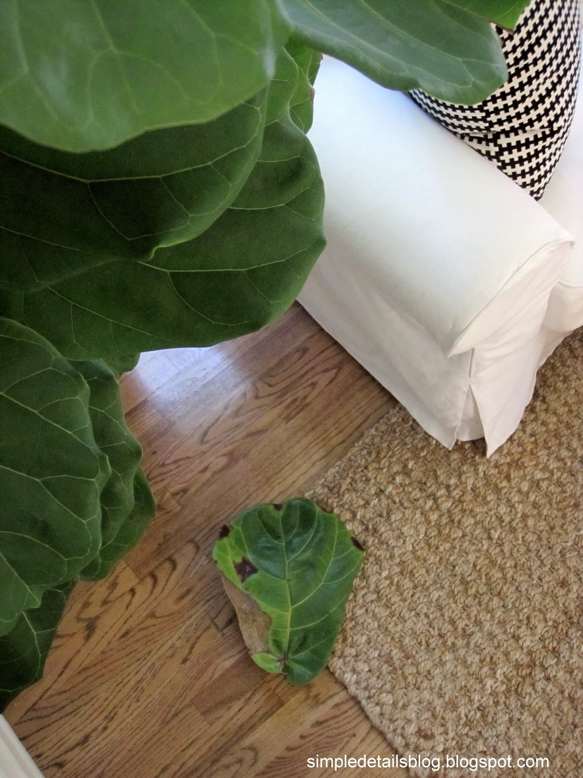 Simple Details Help For My Fiddle Leaf Fig