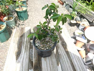 スイレンボク 睡蓮木 ミニ盆栽