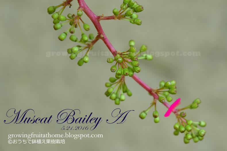 ブドウのヤマ・ソービニオンとデラウェアの開花