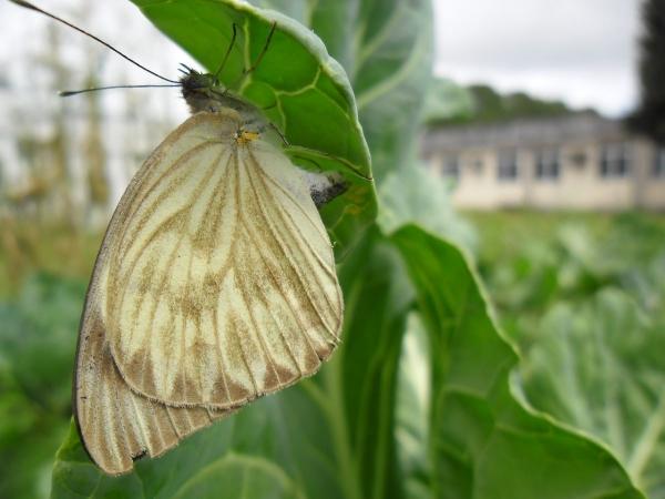 Em Alagoas, aumento de borboletas chama atenção na região metropolitana e IMA esclarece dúvidas