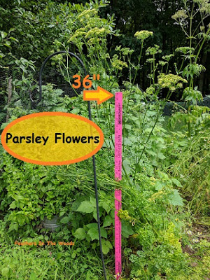 parsley grows 4 feet tall