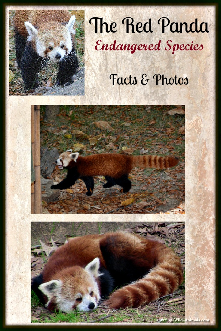 The Red Panda - Facts & Photos