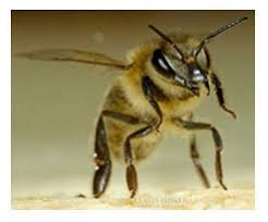 Μελισσοκομικα Προβληματα : Πολλές ακαθαρσίες μελισσών στην σανιδά πτήσης