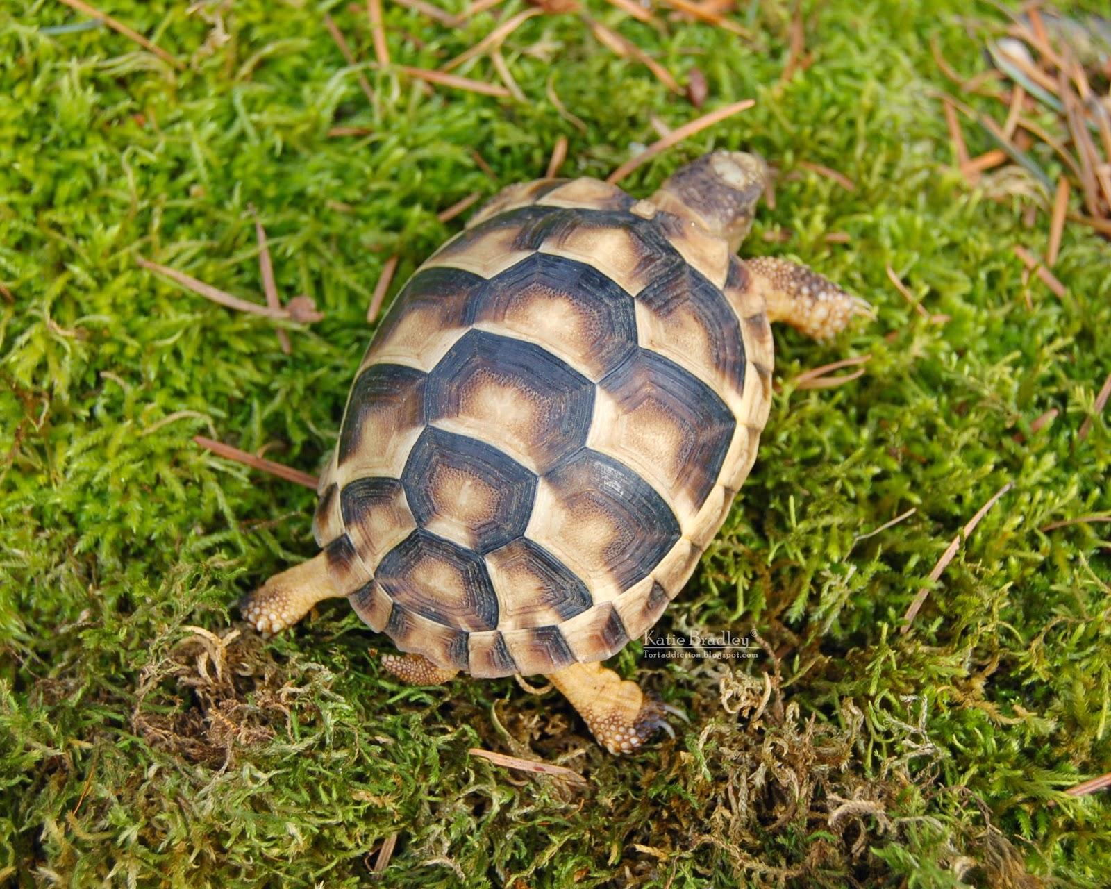 tortaddiction  marginated tortoises update