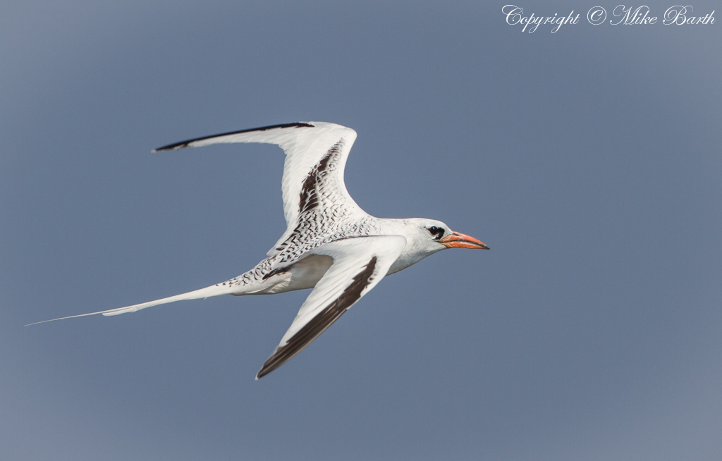 Red-Billed Tropicbirds on Qarnein Island