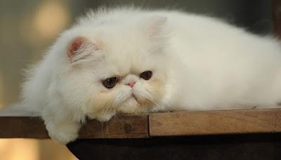 pertolongan yang harus dilakukan pada kucing sakit