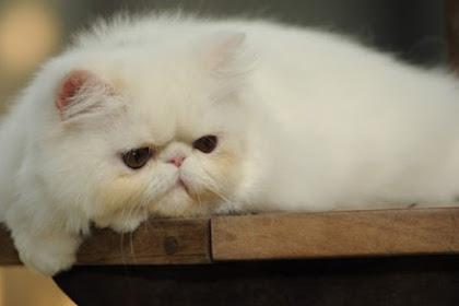 Pertolongan Ketika Kucing Sakit tidak mau makan