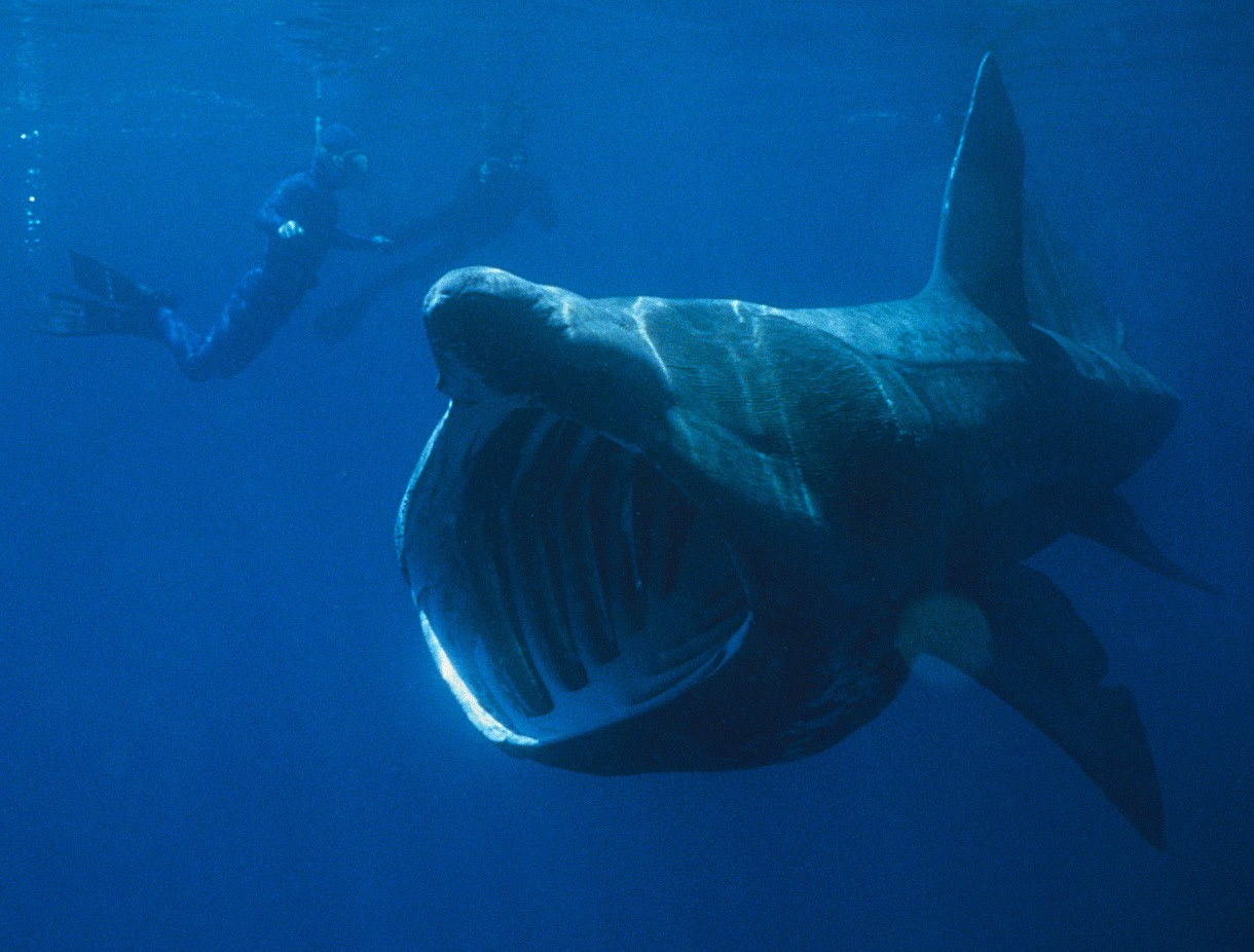 The basking shark is the second largest fish in the world after the ...