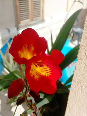 פרזיה בפריחה אדומה