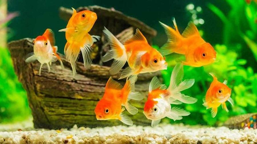 Ikan Mas Koki - Ikan Hias yang Kuat Hidup Tanpa Oksigen