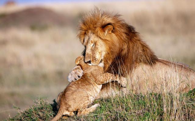 Captan a Mufasa y Simba en la vida real