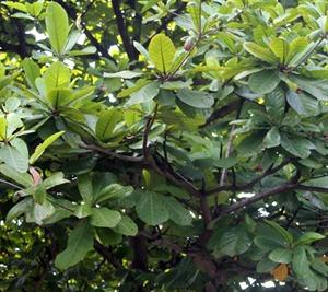 Ketapang Leaves