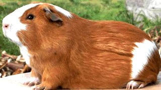 Foto de cuy de perfil - Animal doméstico