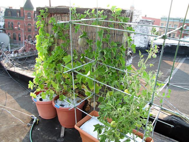 Bucolic Bushwick Rooftop Container Vegetable Garden 2011