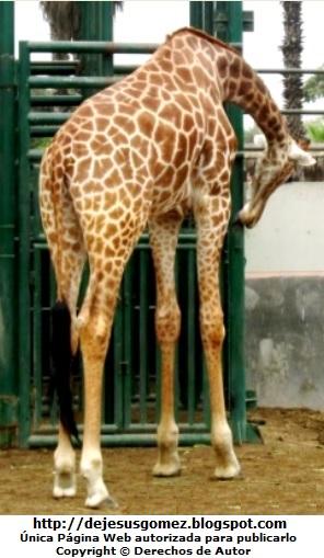 Foto de Jirafa agachado en el Parque de las Leyendas. Foto de la jirafa tomada por Jesus Gómez