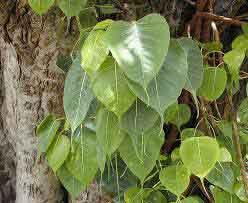 Lukisan daun Bodhi dari pohon suci