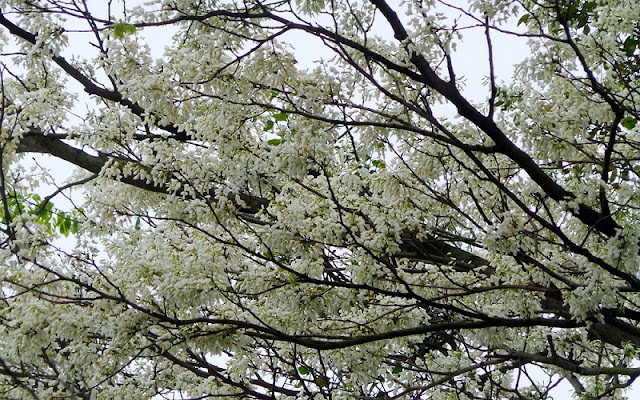 Hanoi's streets dotted with early white Dalbergia tonkinensis flowers 4