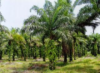Survey dan Pemetaan Area Perkebunan Kelapa Sawit