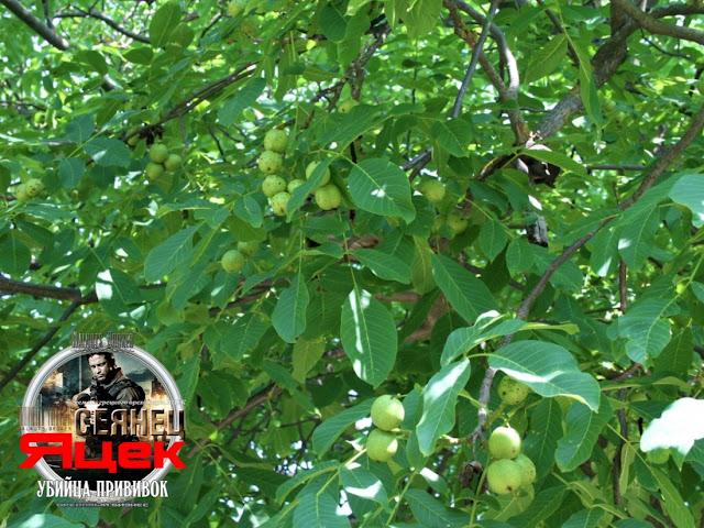 Грецкий орех сорт Яцек в июне 17.06.2019 года Walnuts Broker