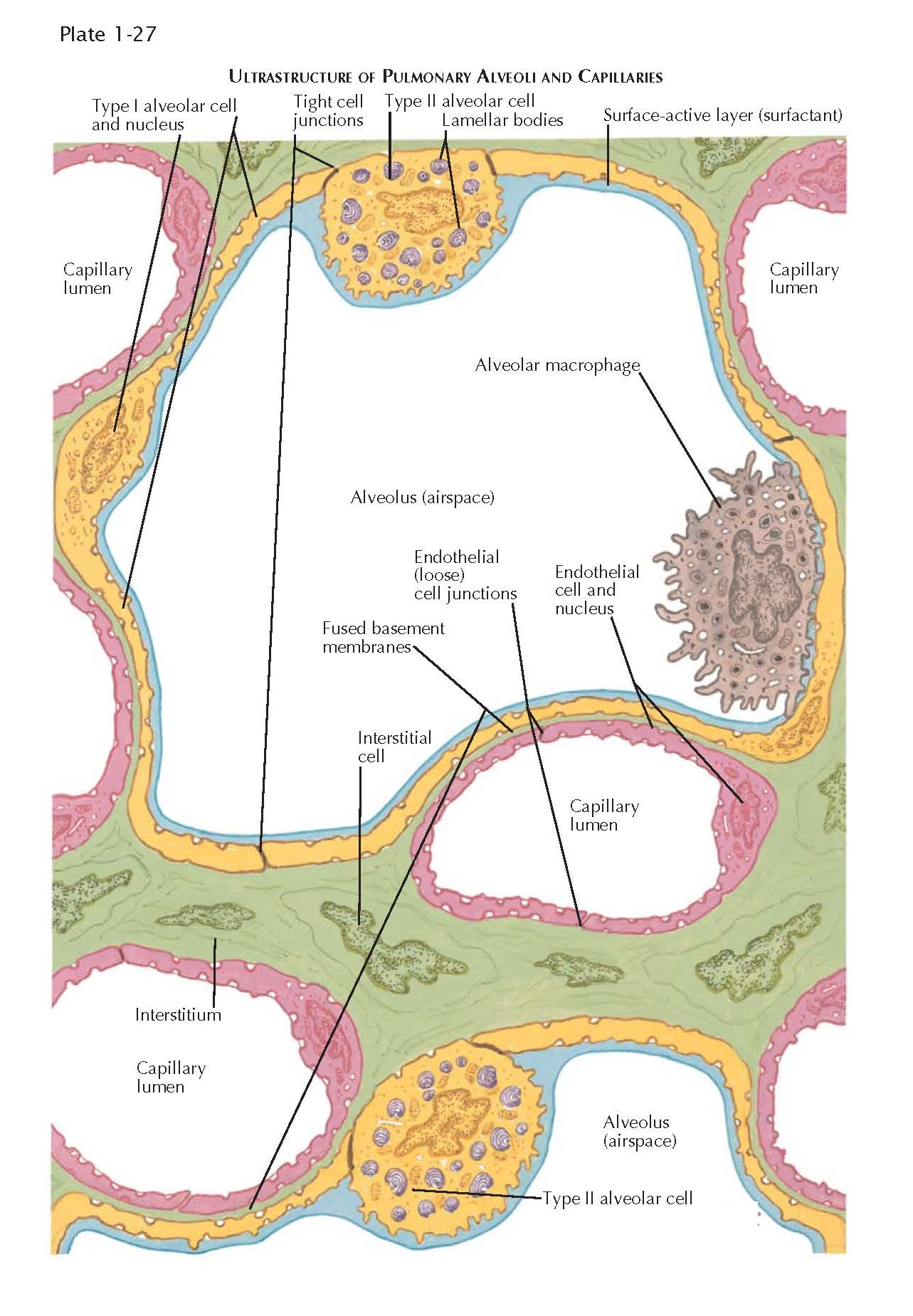 ULTRASTRUCTURE OF PULMONARY ALVEOLI AND CAPILLARIES
