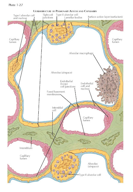 ULTRASTRUCTURE OF PULMONARY ALVEOLI AND CAPILLARIES