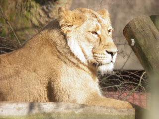 Lioness - ZSL London Zoo