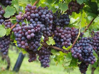Buah Anggur Bisa Jadi Obat Insomnia
