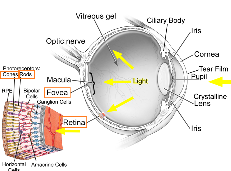 89 Structure And Function Of The Eye Rods And Cones