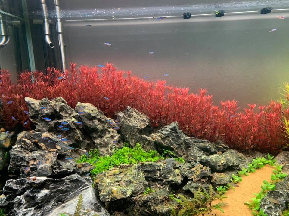Cây thủy sinh Vẩy Ốc Siêu Đỏ Colorata trong hồ của Trần Khánh Dương