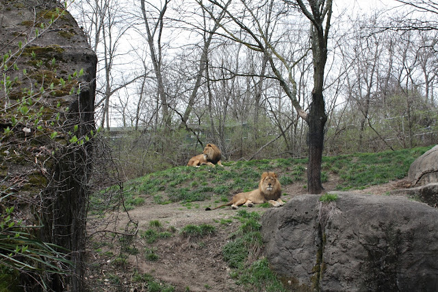 Lions relaxing at the Pittsburgh Zoo on a nice day