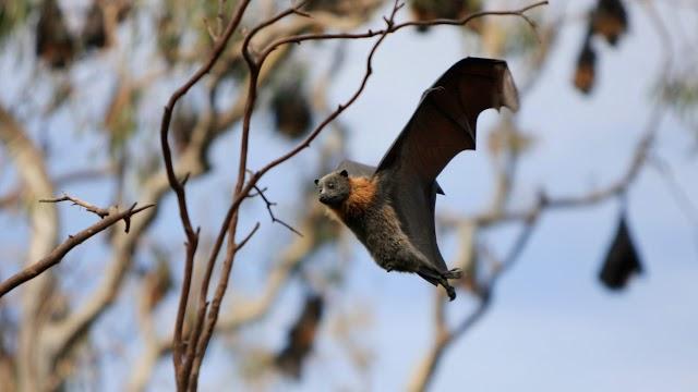 Άρρωστες νυχτερίδες κρατούν αποστάσεις για να μην κολλήσουν τις άλλες
