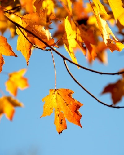 Close up of autumn leaves on a tree