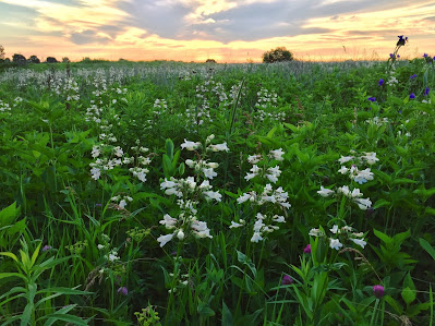 White Prairie Flowers