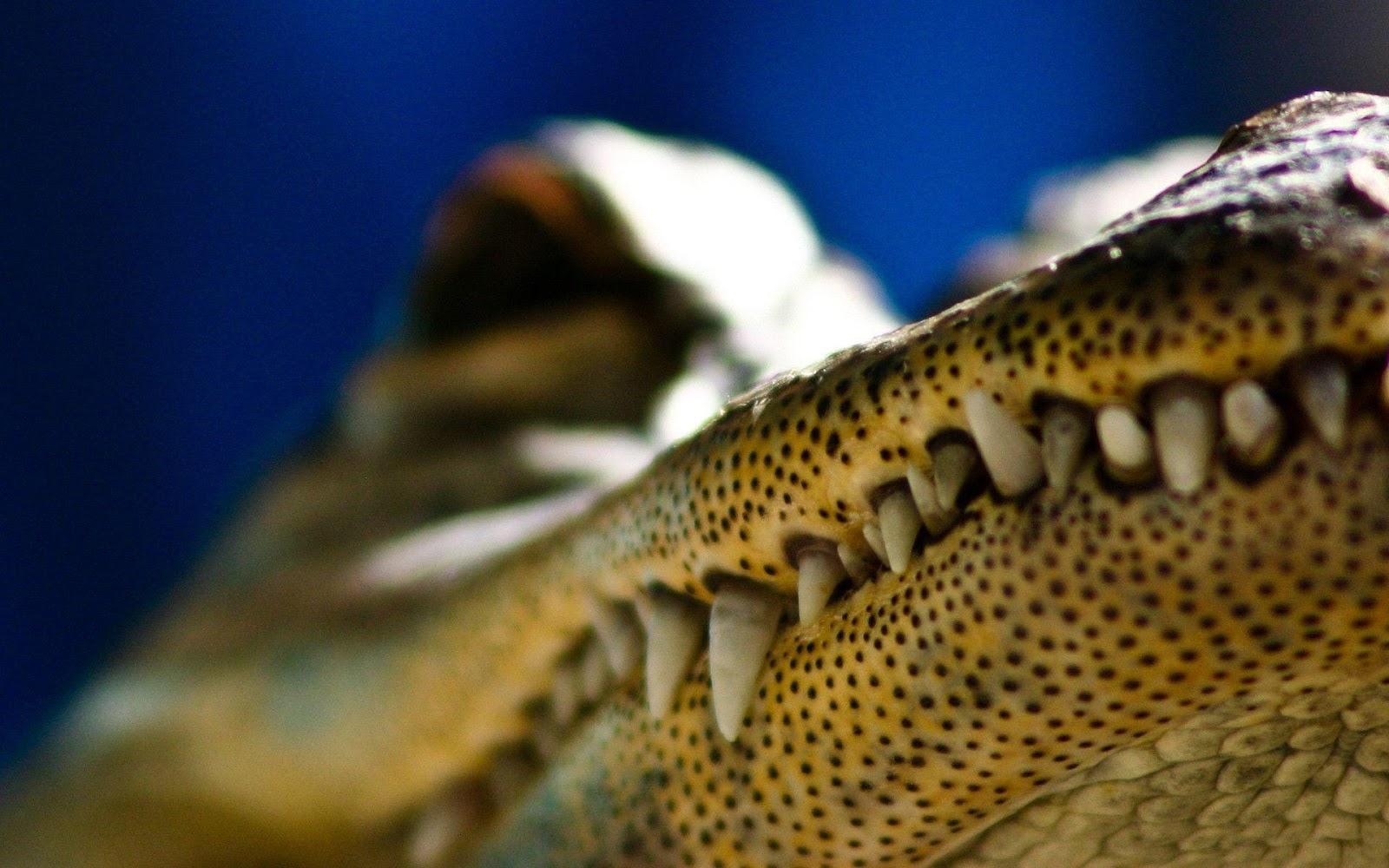 Alligator Eyes Wallpapers Wallpapers Download Animals