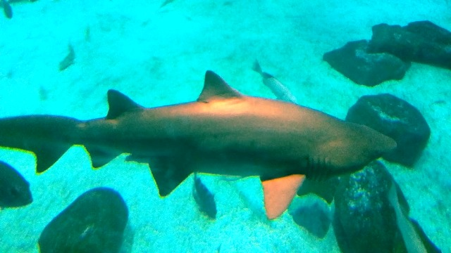 Que tal ficar assim pertinho de um tubarão no AquaRio?