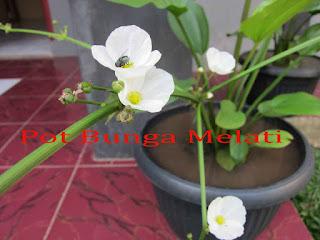 Pot Bunga Melati