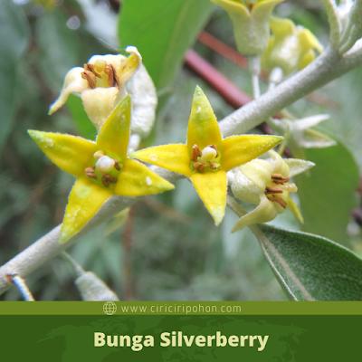 Ciri Ciri Bunga Silverberry