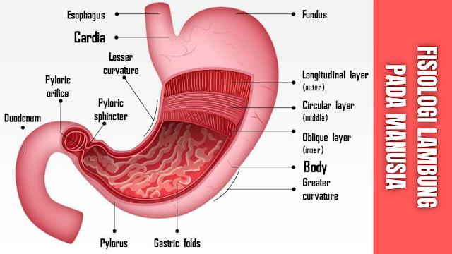 Fisiologi Lambung Pada Manusia Lambung Merupakan bagian dari saluran yang dapat mengembang paling banyak terutama di daerah epigaster, lambung terdiri dari bagian atas fundus uteri berhubungan dengan esofagus melalui orifisium pilorik, terletak di bawah diafragmadi depan pankreas dan limpa, menempel di sebelah kiri fundus uteri.  Getah cerna lambung yang dihasilkan antara lain:  Pepsin, fungsinya memecah putih telur menjadi asam amino (albumin dan pepton) Asam garam (HCI), fungsinya mengasamkan makanan, sebagai antiseptik dan desinfektan dan membuat suasana asam pada pepsinogen sehingga menjadi pepsin. Renin, fungsinya sebagai ragi yang membekukan susu dan membentuk kasein dari kasinogen (kasinogen dan protein susu) Lapisan lambung, jumlahnya sedikit yang memecah lemak menjadi asam lemak yang merangsang getah lambung.   Digesti dalam lambung diantaranya :  Digesti protein, pepsinogen yang dieksresi oleh sel chief diubah menjadi pepsin oleh asam klorida yang disekresi oleh sel parietal. Pepsin menghidrolisis protein menjadi polipeptida. Dan pepsin adalah enzim yang hanya bekerja dengan PH dibawah 5 Lemak, enzim lipase yang disekresi oleh sel chief menghidrolisis lemak susu menjadi asam lemak dan gliserol, tetapi aktivitasnya terbatas dalam kadar PH yang rendah. Karbohidrat, enzim amilase dalam saliva yang menghidrolisis zat tepung bekerja pada PH netral. Enzim ini terbawa bersama bolus dan tetap bekerja dalam lambung sampai asiditas lambung menembus bolus. Lambung tidak mensekresi enzim untuk mencerna karbohidrat.    Didalam lambung, makanan disimpan untuk sementara dan secara mekanis dan kimiawi dipecah untuk dicerna dan di absorbsi. Lambung menyekresi asam hidroklorida (HCI), leher, enzim pepsin, dan faktor intrinsik.   Konsentrasi HCI mempengaruhi keasaman lambung dan keseimbanga asam-basa tubuh. HCI membantu mencampur dan memecah makanan di lambung. Lendir melindungi mukosa lambung dari keasaman dan aktifitas enzim.   Pepsin mencerna protein, walaupun tidak banya