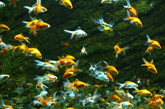 lifespan of goldfish