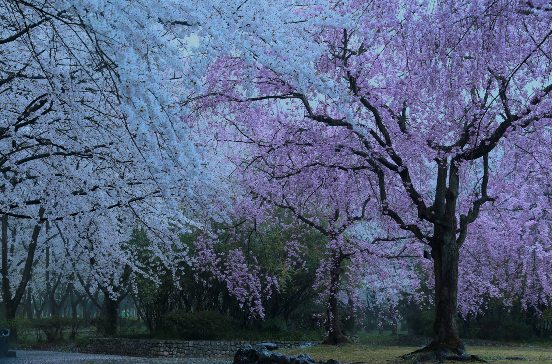 富貴蘭の栽培記: 夕雨桜