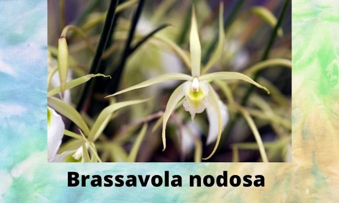 3 Fragrant Orchids | Brassavola nodosa-Little Stars-Cattleya alliance