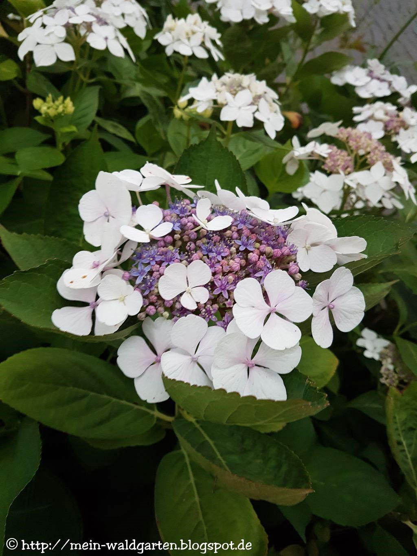 mein waldgarten hortensien und hibisken bl hen. Black Bedroom Furniture Sets. Home Design Ideas
