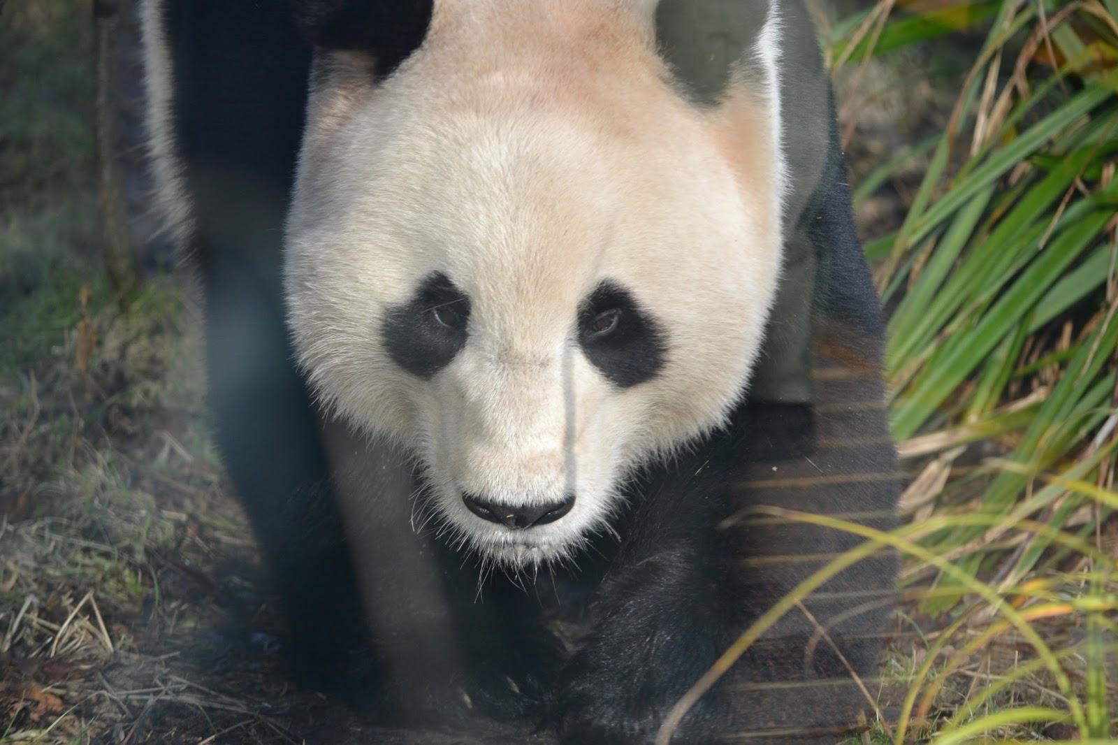 edinburgh zoo pandas