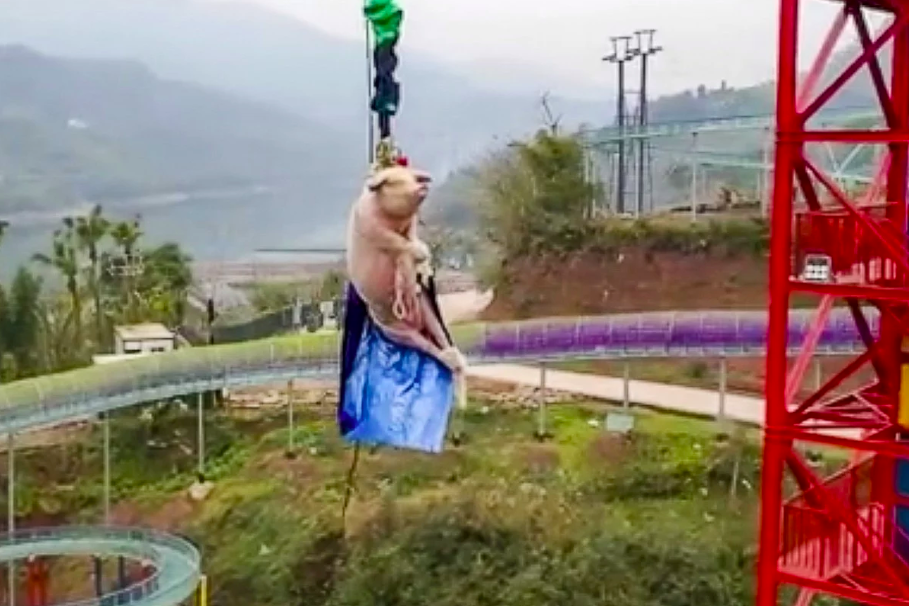 Chinese Theme Park's Bungee-jumping Pig Stunt Sparks Anger On Social Media
