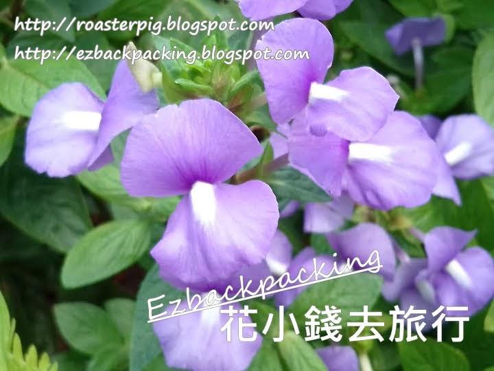 香港藍金花
