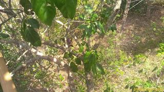 memetik buah jengkol dengan memanjat pohon