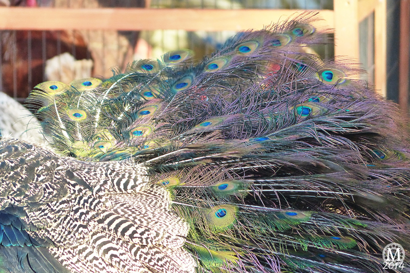Peacock at Foxborough Farm, Hainault Forest Country Park