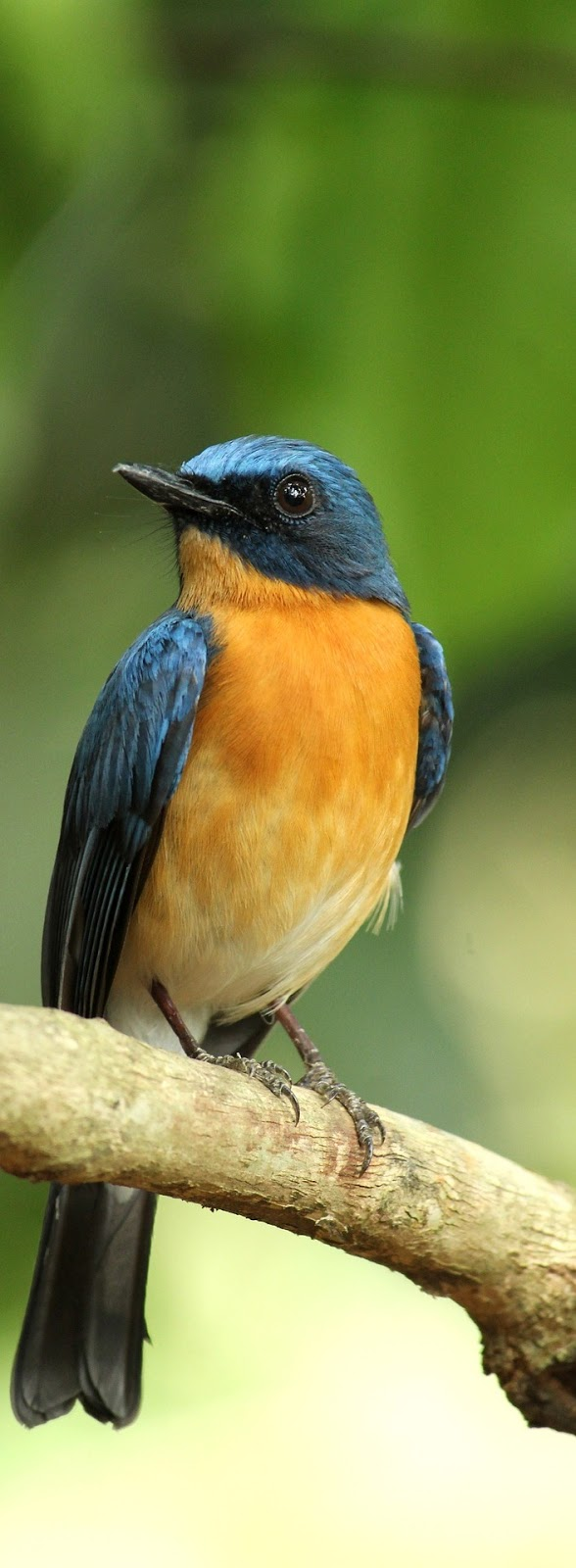 A tickell's blue flycatcher.